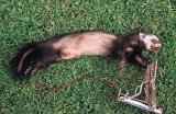 Pregnant female ferret, caught in Fenn trap
