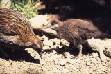 Weka with chick
